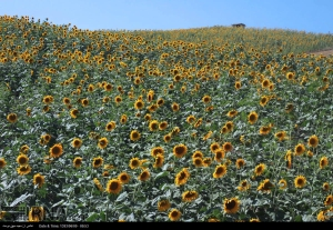 golestan-iran-gorgan-sunflower-farm-01