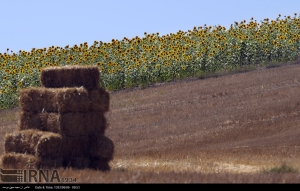 golestan-iran-gorgan-sunflower-farm-02