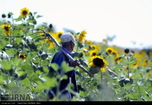 golestan-iran-gorgan-sunflower-farm-03