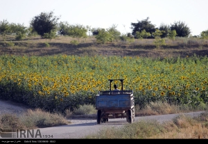 golestan-iran-gorgan-sunflower-farm-04