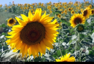 golestan-iran-gorgan-sunflower-farm-05
